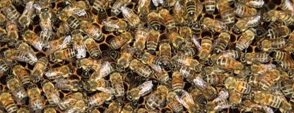 Beekeeping. Bees and honeycombs, close up image Stock Photo