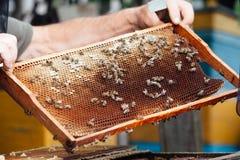 Beekeeping. Bees on honeycombs.honey in honeycombs royalty free stock photos