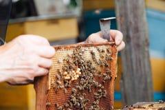 Beekeeping. Bees on honeycombs.honey in honeycombs royalty free stock image