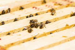 Beekeeping. Bees working on honeycomb royalty free stock photography