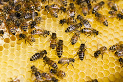 Beekeeping Royalty Free Stock Images