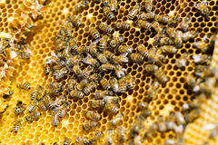 Beekeeping Royalty Free Stock Photography