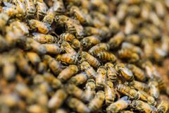 Beekeeping,Close up of bees in a beehive on honeycomb,. Honey from farming,Frames of a bee hive. Beekeeper harvesting honey stock image