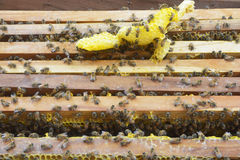 Beekeeping. Close up view of the working bees on the honeycomb Royalty Free Stock Photo
