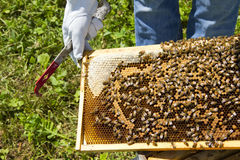Beekeeping closeup. Closeup of a beekeeper managing honey bees that are producing honey in a hive royalty free stock image