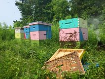 Beekeeping: Colourful open beehives and bees on sunny summer day Royalty Free Stock Photography