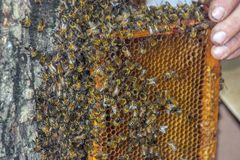 Beekeeping scene. The swarm of swarm of bees is returned to the honeycomb. Beekeeping concept. The beekeepers, worthy of returning, took away the swarm by smoke royalty free stock photo