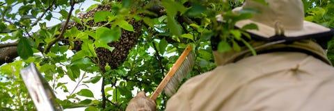 beekeeping Der Imker, der entgangene Bienen sammelt, schw?rmen von einem Baum Bienenhaushintergrund lizenzfreie stockfotografie