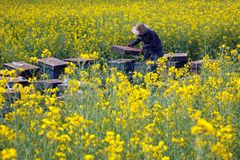 Beekeeping farm in the mustard fields. royalty free stock photography