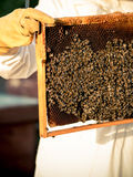 Beekeeping frame with bees Royalty Free Stock Photo