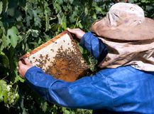 Beekeeping hobby. An unidentified beekeeper in the process of honeycombs checking stock photography