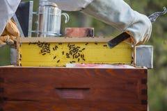 Beekeeping, mężczyzna w kombinezonach i pszczoły ochrona, Fotografia Royalty Free