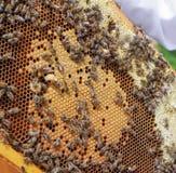 beekeeping pszczół colldet10711 colldet10734 colldet11059 com dreamstime pusty karmowy miodowy honeycells honeycomb href http odi obrazy stock