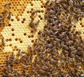 beekeeping pszczół colldet10711 colldet10734 colldet11059 com dreamstime pusty karmowy miodowy honeycells honeycomb href http odi zdjęcia stock