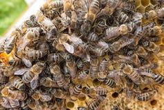 beekeeping pszczół colldet10711 colldet10734 colldet11059 com dreamstime pusty karmowy miodowy honeycells honeycomb href http odi zdjęcie royalty free