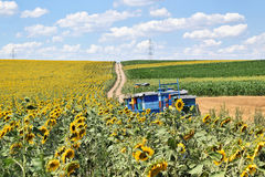 Beekeeping in sunflower field royalty free stock photos