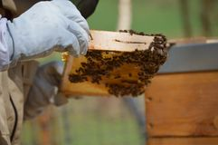 A little beekeeping stock photo
