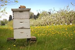 Beekeeping With Apple Trees Stock Photography