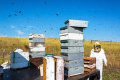 Beekeepr in a Bee Yard. Beekeeper working in a bee yard surrounded by bees near Buffalo, Wyoming royalty free stock photo