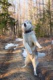 Beeld die van grappig Siberisch schor puppy in het bos bij zonsondergang springen Het portret van leuke schor hond kijkt als DJ stock foto's