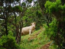 Beeld die van stier zich in de tropische wildernis van de Azoren, Portugal, Europa bevinden stock fotografie