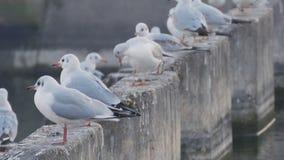 Beeld met een groep die witte zeemeeuwen dichtbij een waterloop rusten stock videobeelden
