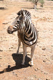 Solitaire zebra in de zon royalty-vrije stock foto