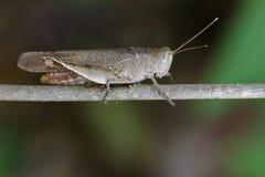 Beeld van Bruine kort-Gehoornde Grasshoppers& x28; Acrididae& x29; Royalty-vrije Stock Foto