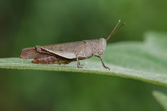 Beeld van Bruine kort-Gehoornde Grasshoppers& x28; Acrididae& x29; Stock Afbeelding