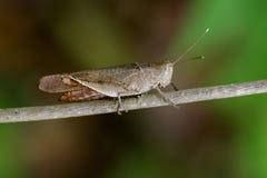 Beeld van Bruine kort-Gehoornde Grasshoppers& x28; Acrididae& x29; Stock Afbeeldingen