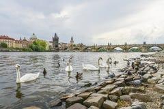 Beeld van Charles Bridge in Praag met zwanen royalty-vrije stock foto's
