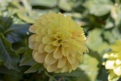 Beeld van de bloem van dahliapinnata royalty-vrije stock afbeelding
