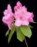 Beeld van de bloem van de Rododendron op zwarte. Royalty-vrije Stock Foto