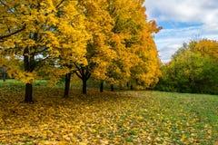 Beeld van de Gele bomen van de de herfstesdoorn in het park Stock Afbeeldingen