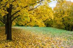 Beeld van de Gele bomen van de de herfstesdoorn in het park Stock Fotografie