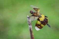 Beeld van de libellen van rhyothemisphyllis op een boomtak Stock Afbeeldingen