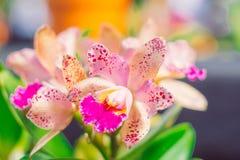 Beeld van Dichte omhoog kleurrijke orchideebloem met vage achtergrond royalty-vrije stock afbeelding