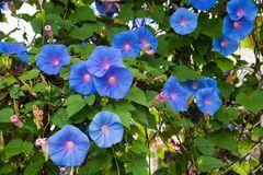 Beeld van een Blauwe bloem van Ochtend Glory Ipomoea in de tuin royalty-vrije stock foto's