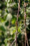 Beeld van een gele libel die tegen een tak leunen Stock Afbeelding