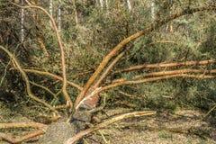 Beeld van een gevallen pijnboomboom in het midden van het bos royalty-vrije stock foto