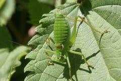Beeld van een Grashoppers op een blad Stock Afbeelding