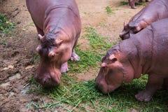 Beeld van een Hippo - amphibius van het nijlpaardnijlpaard stock afbeelding