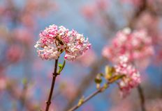 Beeld van een honingbij die aan de roze bloesem van een de wintersneeuwbal tijdens de lente op een zonnige dag met onduidelijk be stock foto's