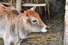 Beeld van een jonge koe met kleurrijk haar in een dorp in het ochtend weidende gras royalty-vrije stock afbeeldingen