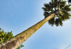Beeld van een kokospalm horizontaal Groene bladeren, gele schors, blauwe hemel royalty-vrije stock foto's