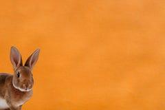 Beeld van een konijn op oranje achtergrond Stock Afbeeldingen