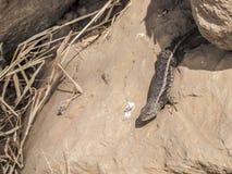 Beeld van een leguaan onder de rotsen in een dor land stock foto's