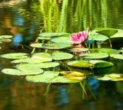 Beeld van een lotusbloembloem op het water tegen de zonachtergrond Royalty-vrije Stock Afbeelding