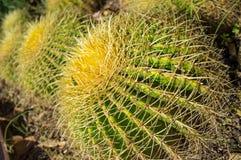 Het close-up van de cactus Royalty-vrije Stock Afbeeldingen