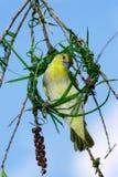 Vrouwelijk de de vogelbouw van de Wever van de Kaap nest met grasbladen Stock Foto